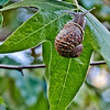 "Cambyses - Snail and Leaf  <a href=""http://cambyses.smugmug.com/ChallengesandAssignments/Kambiz/Texture/22728618_RjqzC8""> EXIF's</a>"