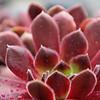 kentwaller - succulent