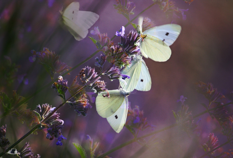 """sweetharmony - Seven minutes, one butterfly..... Exif Gallery:  <a href=""""http://sweet-harmony-photography.smugmug.com/Private/2012-April-to-May/dgrinbugs/23270461_JT93dk#!i=1877339823&k=Lp96ZcX"""" target=""""_blank"""">EXIF</a>"""