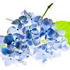 sapphire73 - Hydrangea