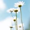 kdotaylor - Daisies