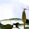 tinamarie52 - Resting in the water garden