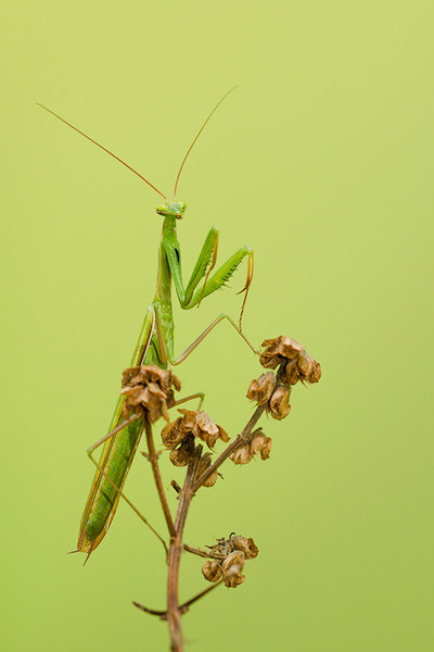 DeVil - Praying Mantis