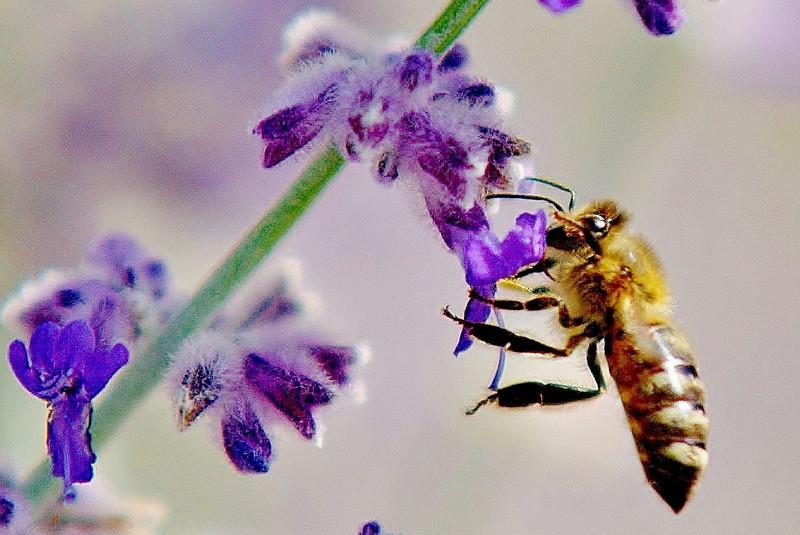 kentwaller - bee on lavender