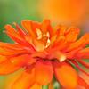 bfluegie - fiery flower