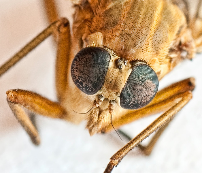 Woodsman - The Eyes Have It (Compound Eyes, That Is!)
