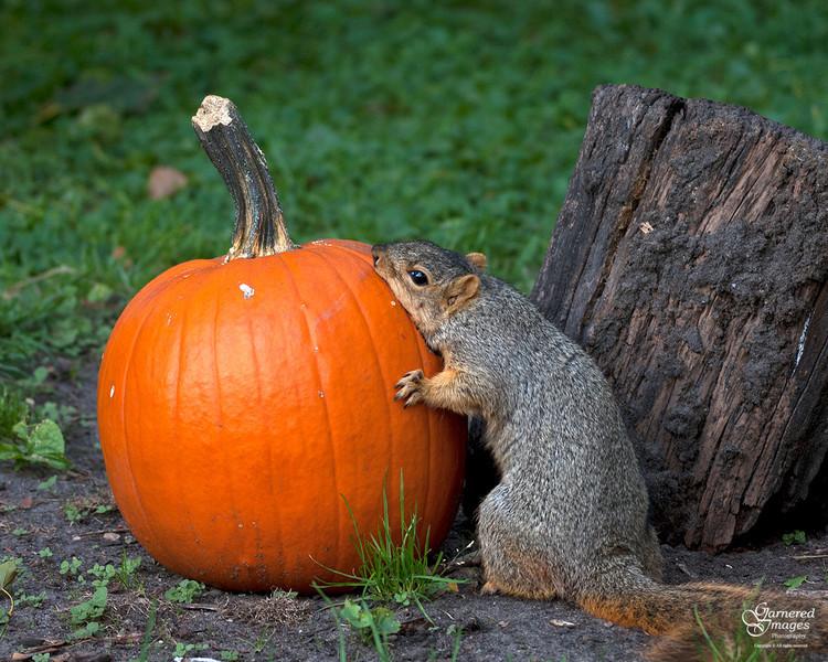 SciurusNiger - Mother's little pumpkin carver
