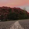 torrbrae - Rhododendrum Hedge at dusk