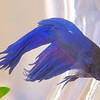 marantophotography-One Blue Fish