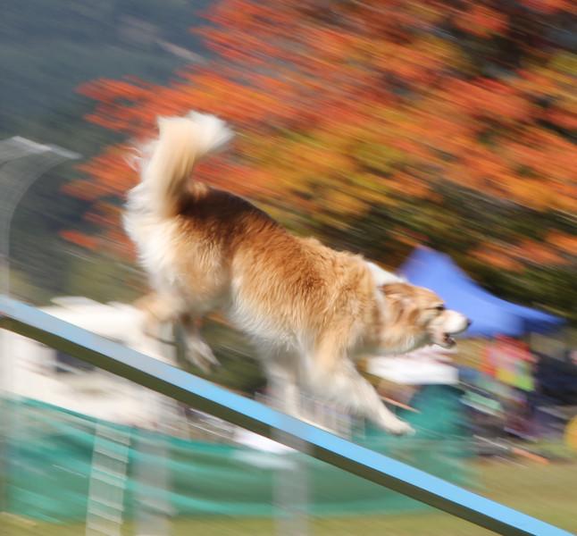 torrbrae - Barking Mad Agility Dog