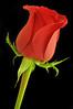Lorri Freedman - Nature's Rose, Contrived in a Light Box