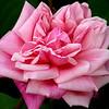 dnie - Sweet rose, fair flower,...