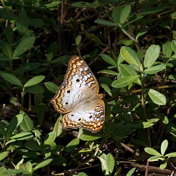 Samsplace - Butterfly