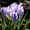 sweetharmony - Crocus and Bee