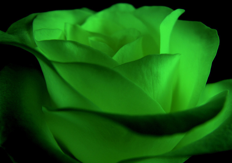 Angela Davis - Irish Rose