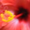 liflander - hibiscus pinhole