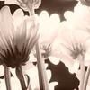 silversx80 - Bella's Blooms