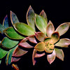 tinamarie52 - Sedum refraction