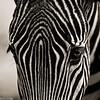 nightpixels - Zebra