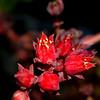 oldtown_dreamer - succulent blossoms