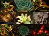 oldtown_dreamer - Succulents