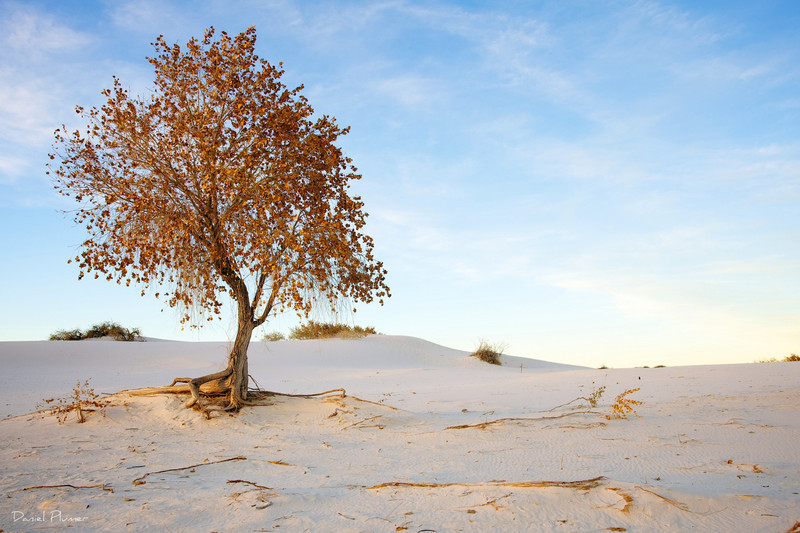 dlplumer - Golden Tree On White Sands