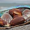 torrbrae - mollusca chocolata