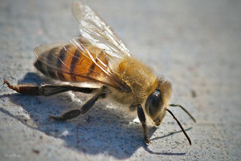 dlplumer - Just A Bee