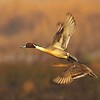 DsrtVW - Northern Pintails at Sunrise