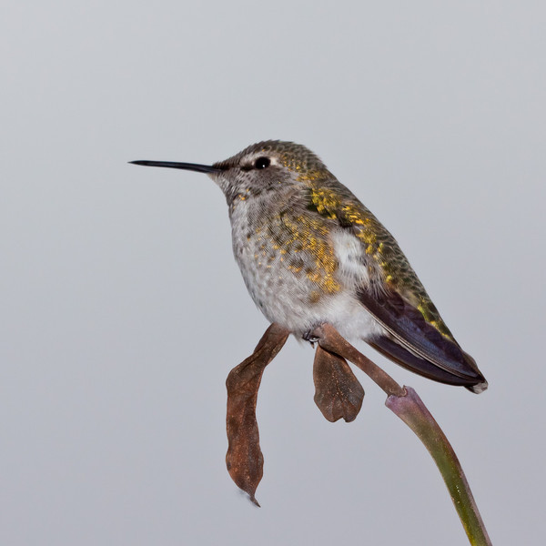 cdnbrit - Anna's Hummingbird - after my grand daughter, back yard birding