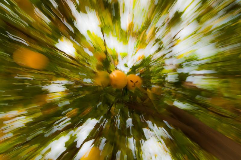 Fotehog - Under the Lemon Tree