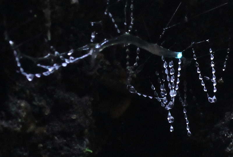 torrbrae - New Zealand Glowworm (Arachnocampa Luminosa)