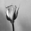 silversx80 - A Rose