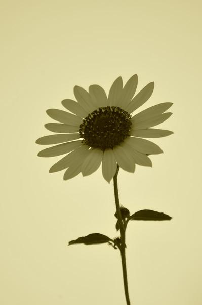 redleash - Sunflower Study