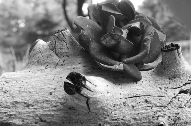 MarkR - Rose on Driftwood.