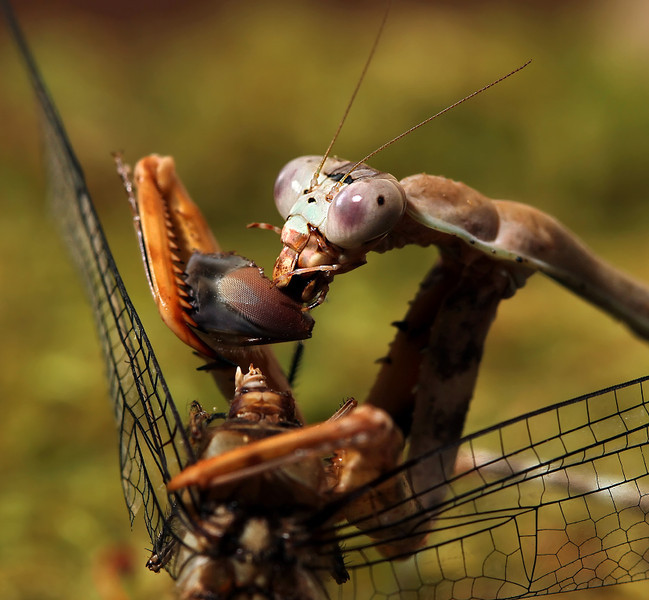 cromwell - Dragonfly Eye