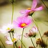 sweetharmony - Dreamy Cosmos