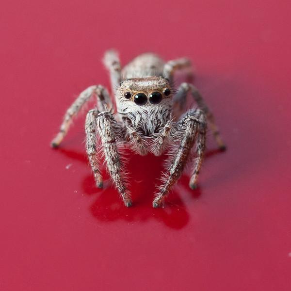 silversx80 - Spider
