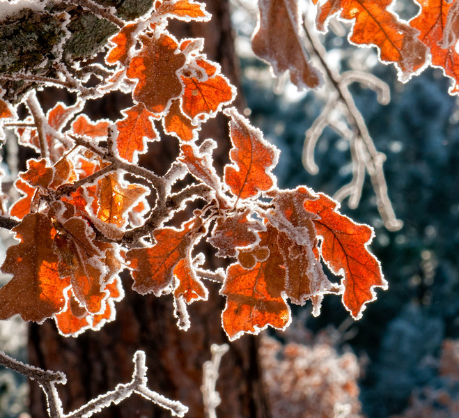 learnin - Hoarfrost on Oak Leaves