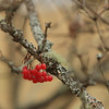 Moving Pictures - winter berries
