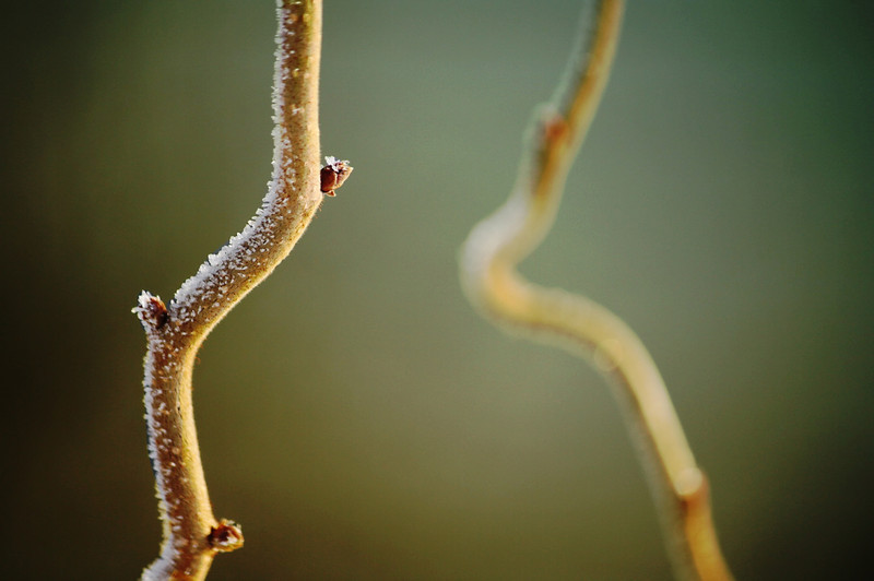 sweetharmony - Corylus avellana 'Contorta', a.k.a. Harry Lauder's Walking Stick