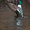 dlplumer - Shoveler On Display