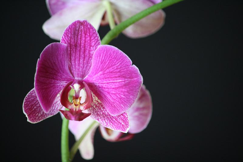 sweetharmony - Favorite Phaelenopis