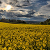 kentwaller - mustard field