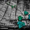 billseye - Timber and Vine