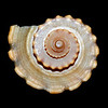 tinamarie52 - Shell on velvet
