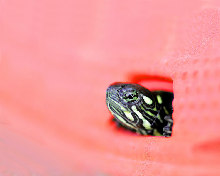 tinamarie52 - Baby Turtle: Emergence from a Croc (shoe)