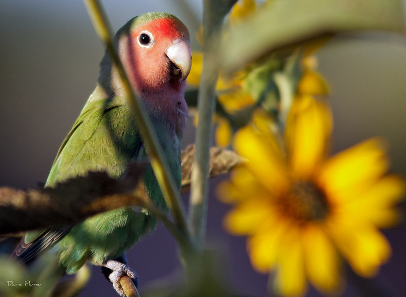 dlplumer - Feral African Lovebirds Colonize Arizona