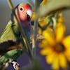 dlplumer - Feral African Lovebirds Colonize Arizona