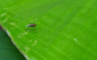 papaw - Tiny fly